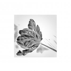 tulip1.1