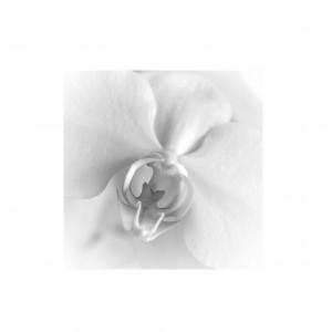 Phalaenopsis2.1
